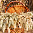 Ripe spikelets of wheat in basket against natural background — Stock Photo