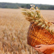 Stock Photo: Basket full of ripe spikelets of wheat in woman hands