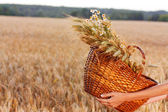 Basket full of ripe spikelets of wheat in woman hands — Stock Photo