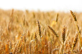 Ripening spikelets of wheat field — Stock Photo