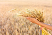 Ripe spikelets of wheat in woman hands in a wheat field — Stock Photo