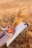 Empty paperwork, pen and golden ears wheat in women's hands — 图库照片