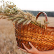 Wheat ears in the wicker basket in woman hands. Harvest concept - Stock Photo