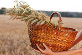 Wheat ears in the wicker basket in woman hands. Harvest concept — Stok fotoğraf