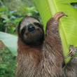 Royalty-Free Stock Photo: Sloth in a banana tree