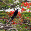 Great-tailed Grackle — Stock Photo