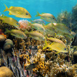 Shoal of grunt fish in a reef — Stock Photo