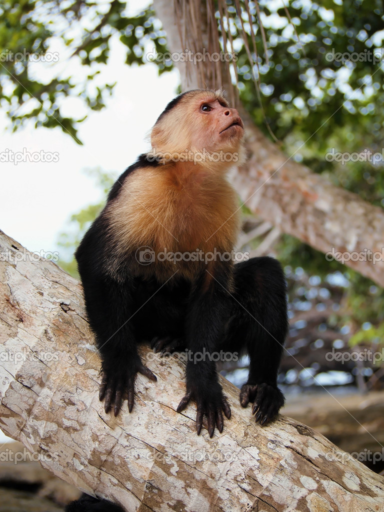 White faced Capuchin Monkey on a coconut tree trunk — Stock Photo #12021621