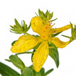 Flower of Hypericum (Latin Hypericum) — Stock Photo