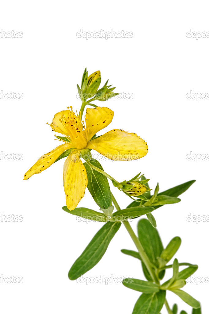 Flower of Hypericum (Latin Hypericum), isolated on a white background — Stock Photo #11476416