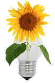 Shattered light bulb and sunflower — Stock Photo