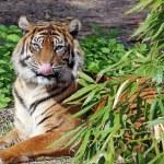 Sumatran Tiger — Stock Photo #10915903