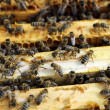 Honey Bees — Stock Photo