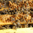 Foto Stock: Honey Bees