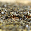 Honey Bees — Stockfoto