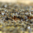 Honey Bees — Stock fotografie