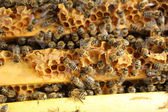 Honey Bees — Stock Photo
