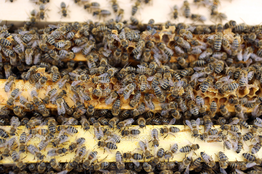 Honey Bees (Apis mellifera) on their Hive  Stock Photo #10915972