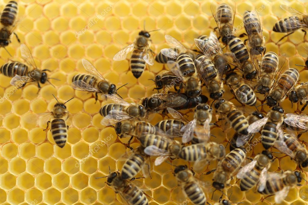 Honey Bees (Apis mellifera) on their Hive — Stock Photo #10916206