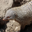 Mongoose — Stock Photo #10922606