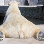 シロクマ — ストック写真