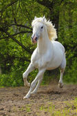 Orlov stallion — Stock Photo