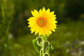 Close-up of sun flower against a nature background — Stock Photo