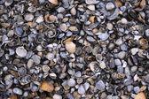 морские гребешки — Стоковое фото