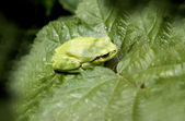 Hyla arborea — Stock Photo