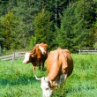 Two cows on summer meadow — Stock Photo #12042093