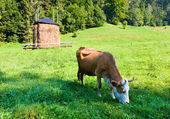 Summer country landscape with cow — ストック写真