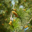 Fresh fir branch in sunshine. - Stock Photo