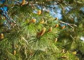 Fresh fir branch in sunshine. — Stock Photo