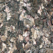 Cortex texture, bark . — Stock Photo