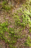 Moss-grown old tree. Bark. — Stock Photo