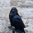 Stock Photo: Raven in the Tower of London, UK .