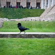 Raven in the Tower of London, UK . — Stock Photo