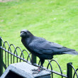Raven in the Tower of London, UK . — Stock Photo #11407201