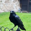 Raven in the Tower of London, UK . — Stock Photo #11407216