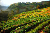 Beautiful landscape and fresh strawberries farm in winter at Chiangmai : Thailand — Stock Photo