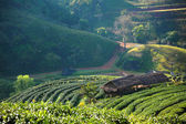 Beautiful landscape and fresh green tea farm in winter at Chiangmai : Thailand — Stock Photo