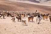 Goats of Fuerteventura — Stock Photo