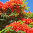 Delonix regia — Stock Photo