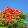 Delonix regia - Stock Photo
