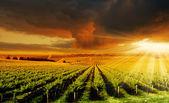 Удивительный виноградник закат — Стоковое фото