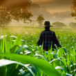 Farmer woman walking in corn fields at early morning — Stock Photo