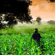 Stock Photo: Farmer womwalking in corn fields at early morning