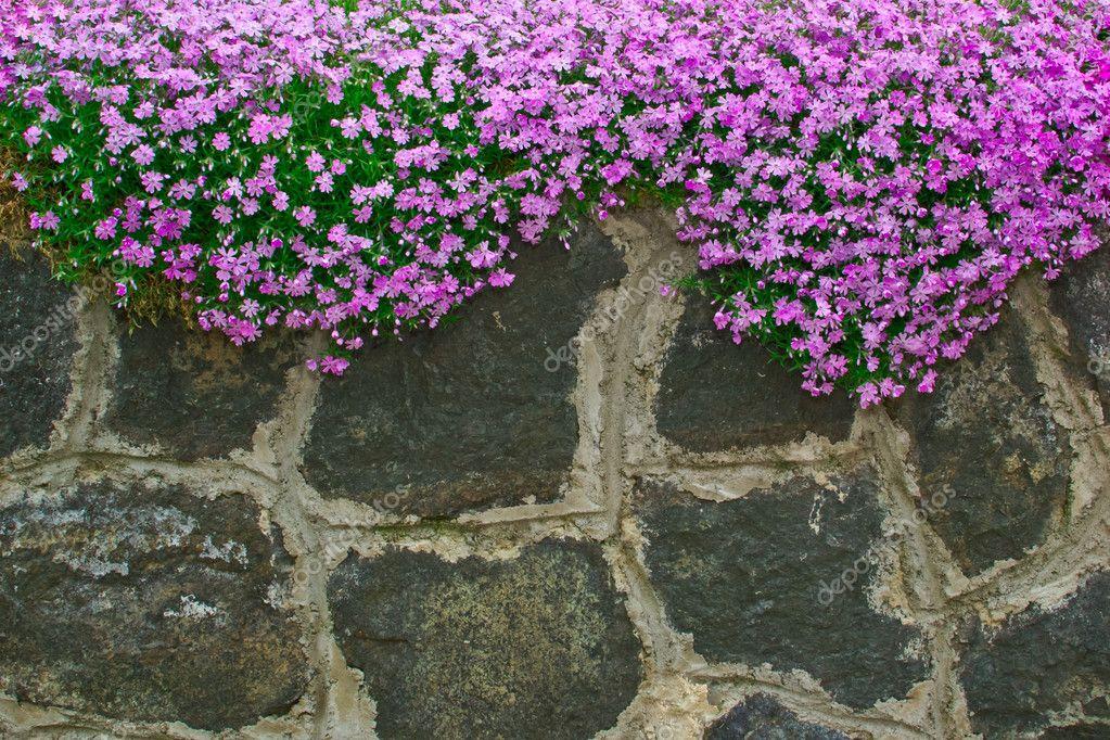 jardim pedras e flores:Flores sobre os muros do jardim de pedra áspera — Foto Stock