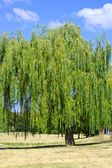 Willow tree in the park — Stock Photo