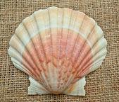 Tan Radial Seashell — Stock Photo